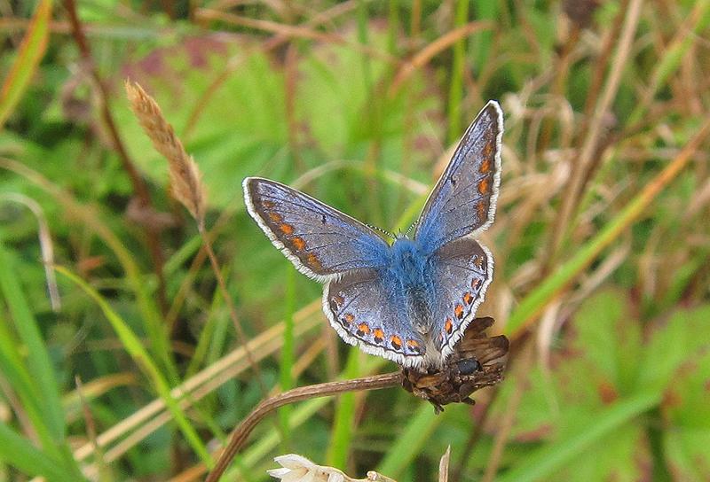 Common Blue - female