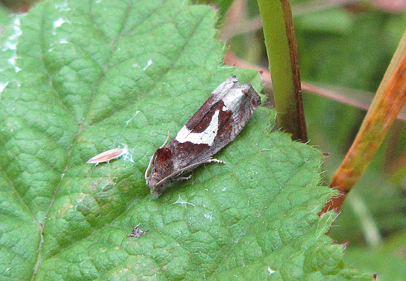 Micro-moth - White-foot Bell