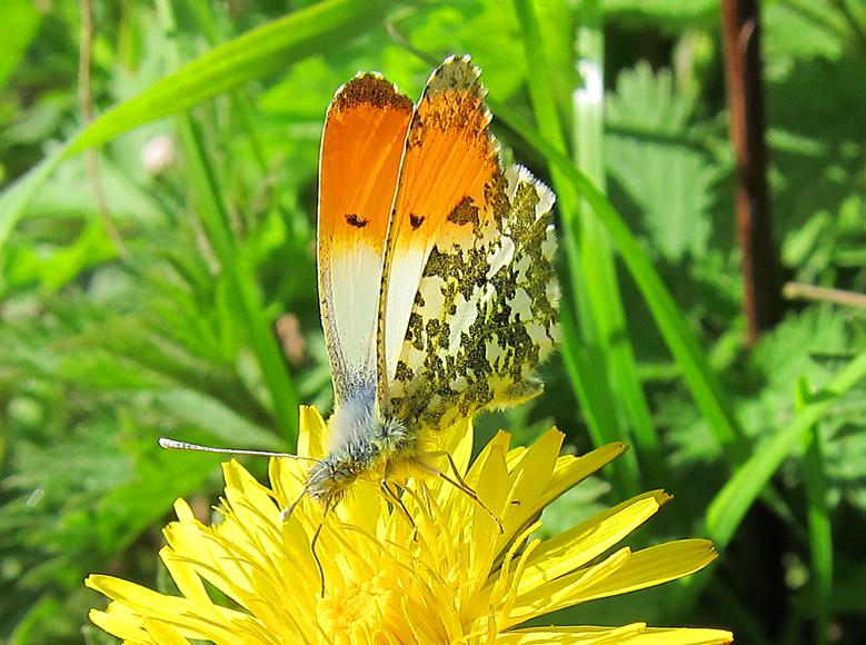 Orange-tip - male