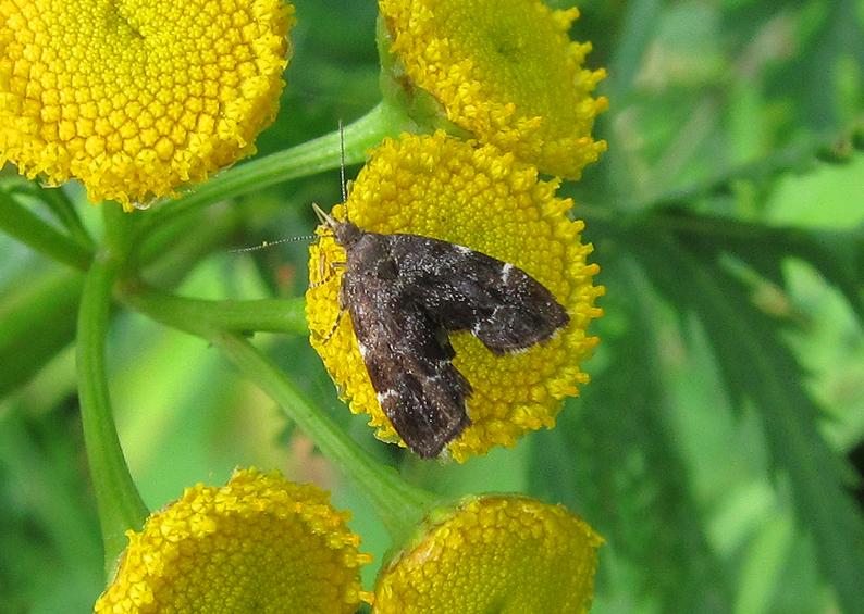 Micro Moth - Nettle-tap