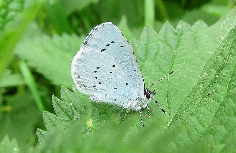 Holly Blue