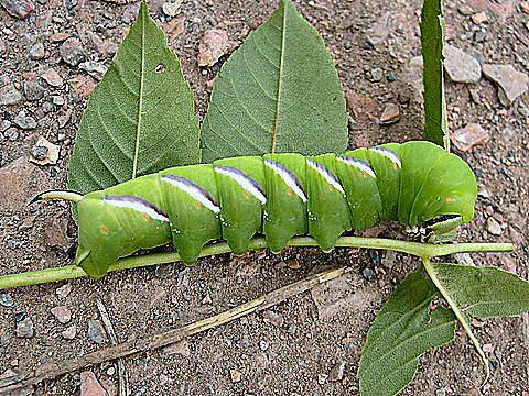 Privet Hawkmoth Caterpillar