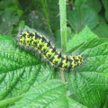 Emperor Moth Caterpillar