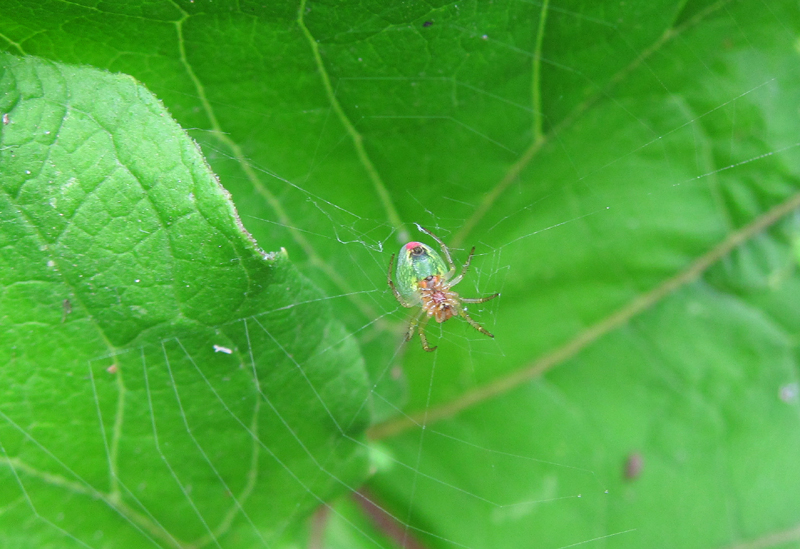 Cucumber Green Orb Spider