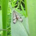Scorpion-fly