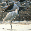 thumbs Spoonbill Birds