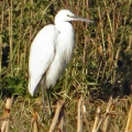 thumbs little egret netherfield Birds