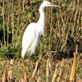 thumbs little egret2 n l Birds