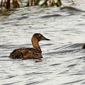 Pochard with duckling