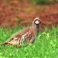 thumbs red legged partridge web Birds