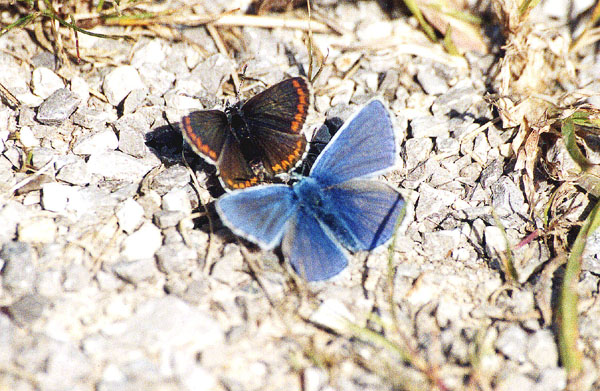 Brown Argus with Common Blue