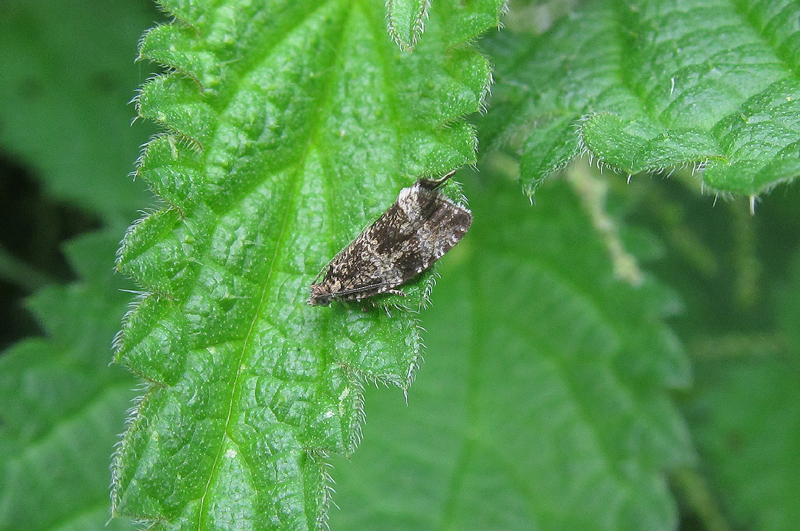 Micro-moth - Dark Strawberry Tortrix