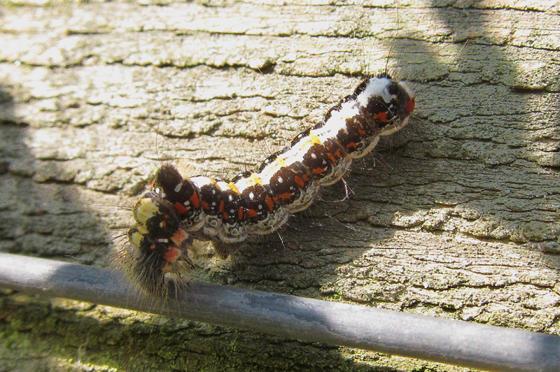 Grey Dagger Caterpillar