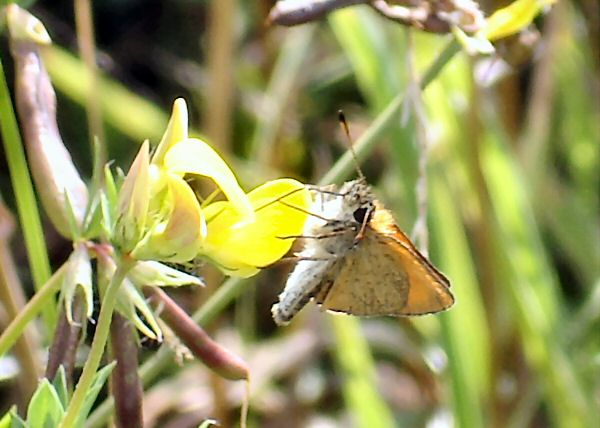 Essex Skipper sipping nectar