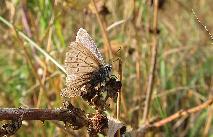 Common Blue - well worn