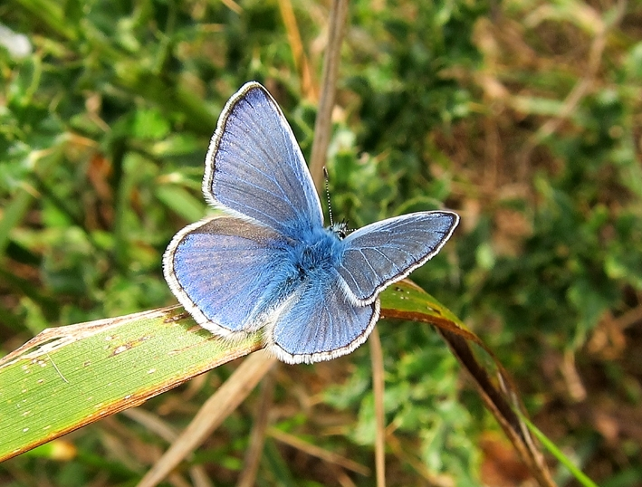 Common Blue - male