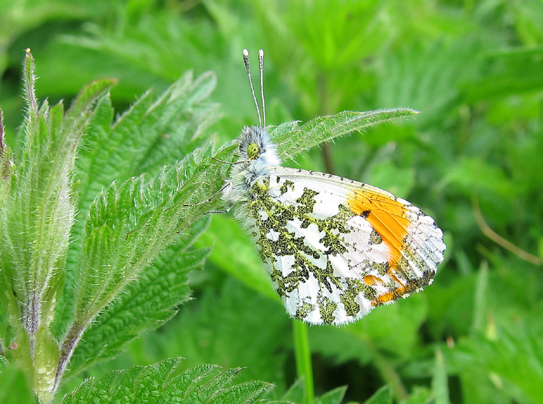 Orange-tip - male