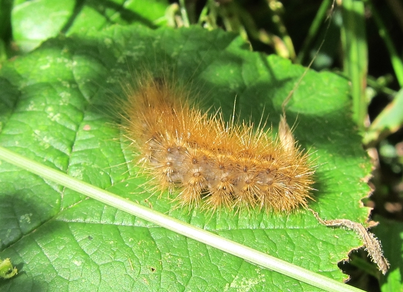 Ruby Tiger - caterpillar