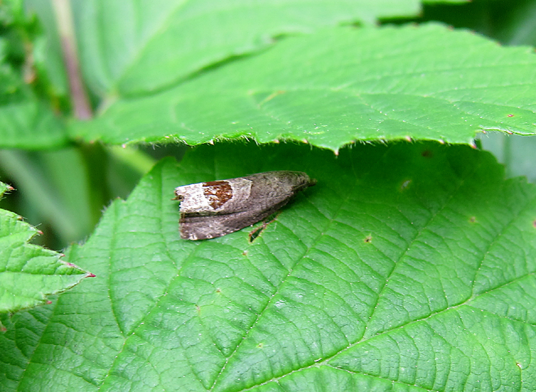 Micro-moth - Bramble-shoot Moth