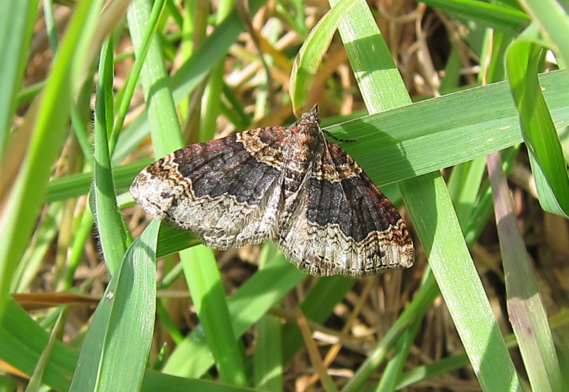 Dark Barred Twin-spot Carpet