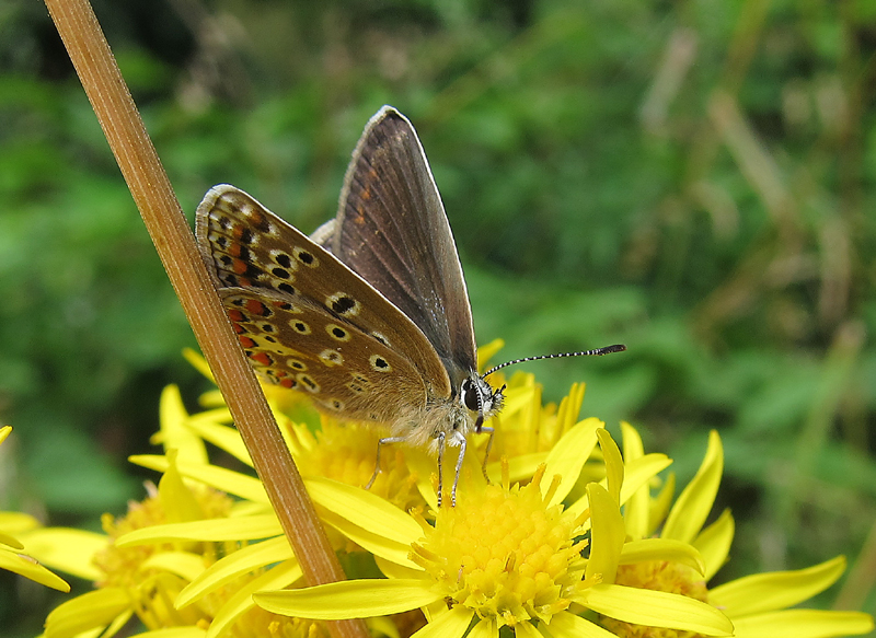 Common Blue - female