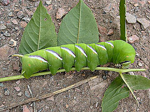 Privet Hawkmoth Caterpillar