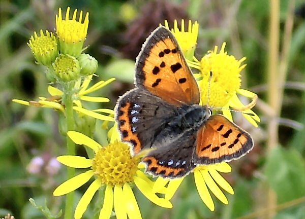 Small Copper feeding on Ragwort