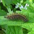 Ruby Tiger - caterpillar