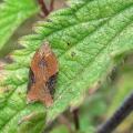 Micro-moth - Strawberry Tortrix