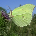 thumbs brimstone Butterflies and Moths