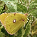 thumbs clouded yellow Butterflies and Moths