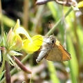 thumbs essex skipper Butterflies and Moths