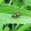 Micro Moth - Pammene aurana