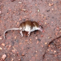 Dead Pygmy Shrew