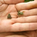 Young Common Toad and Common Frog