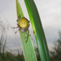 thumbs araneus quadratus web Spiders & Allies
