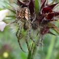 thumbs img 0030a metellina segmentata Spiders & Allies