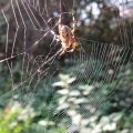 thumbs img 0059a garden spider Spiders & Allies