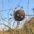 thumbs img 0159a araenis quadratus Spiders & Allies