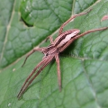 thumbs img 0272a nursery web spider Spiders & Allies