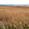 Slurry Lagoon Reedbed