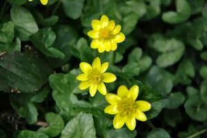Lesser Celandine 1 Star Species   The Plantlife