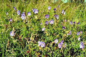 Meadow Cranesbill b  Star Species   The Plantlife