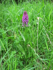 IMG 0855a Marsh Orchid2 225x300 Marsh Orchid   5th June
