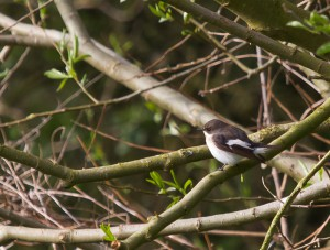 Pied Flycatcher in Boundary Hedge by Michael Wormall.