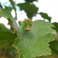 Pebble Hook-tip Caterpillar