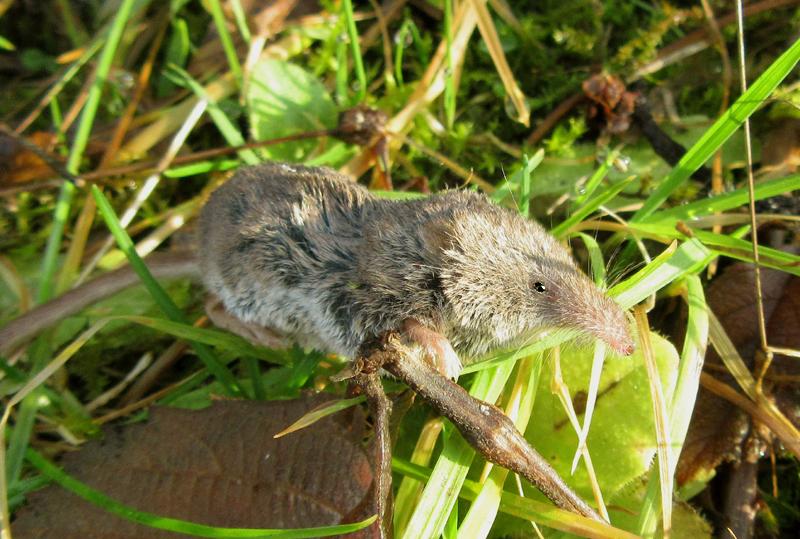 Pygmy-Shrew