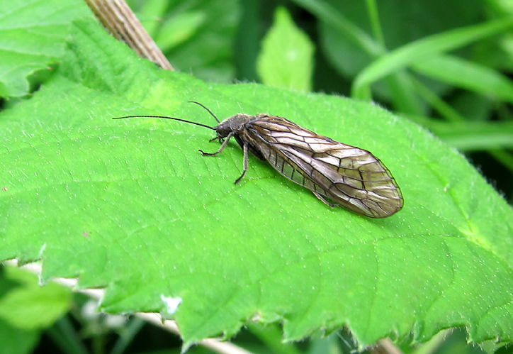 Alder Fly