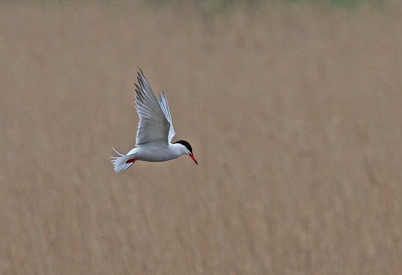 Common-Tern-Mike-Wormall