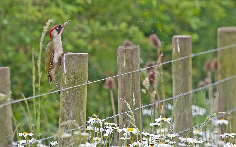 GRWoodpecker-Mike-Wormall